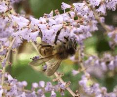 Les abeilles tropicales